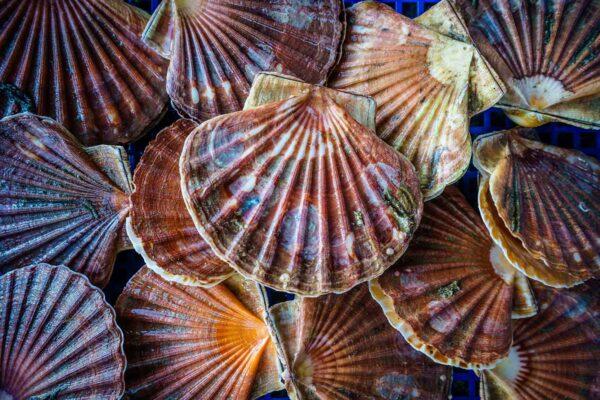 Les coquilles saint-jacques vente en ligne