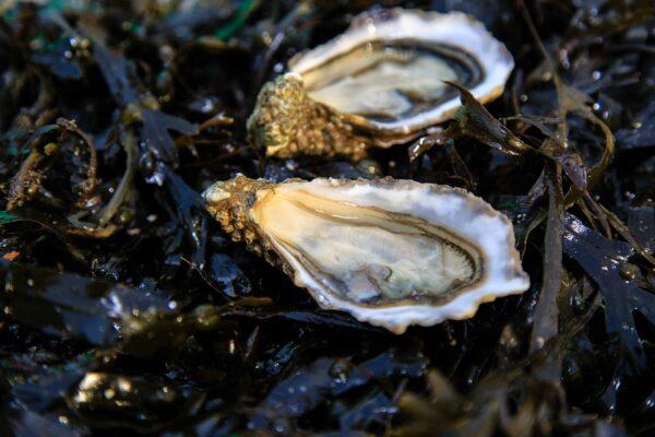 Huotres creuses romain fohanno producteur bretagne 4 – Les huîtres de Mesquer Penbé