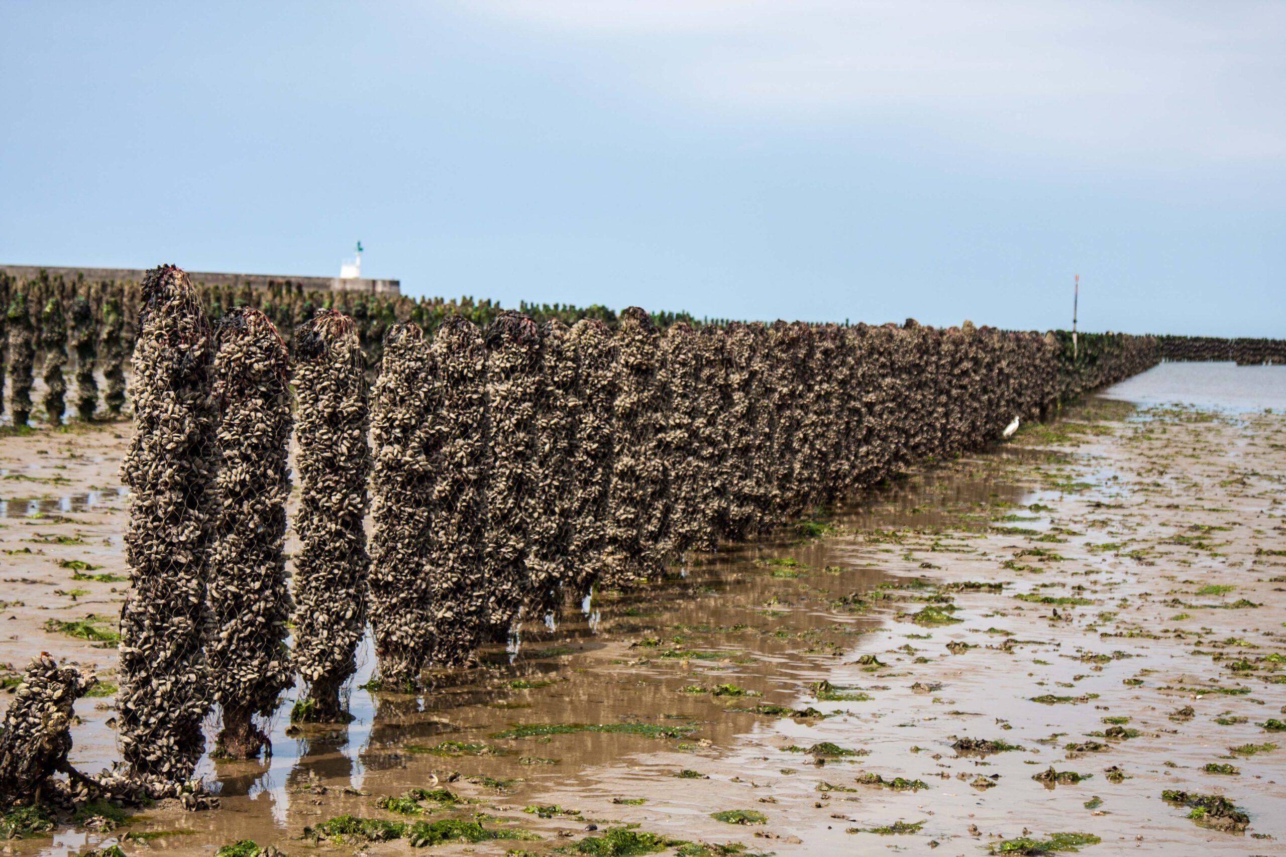 les-huitres-demesquer-penbe-produteur-romain-fohanno