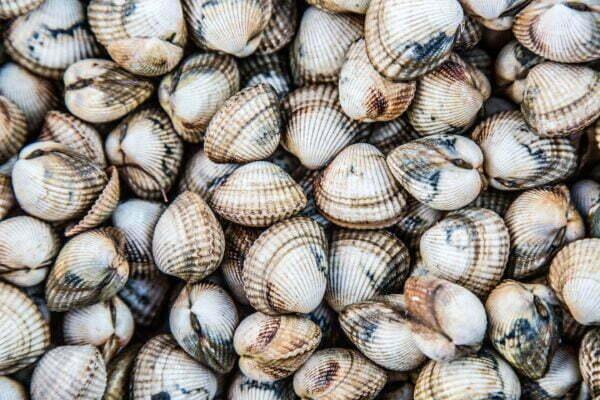 coques hd scaled – Les huîtres de Mesquer Penbé