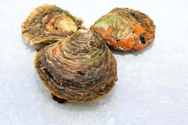 huitres plates romain fohanno producteur a mesquer penbe 7 – Les huîtres de Mesquer Penbé