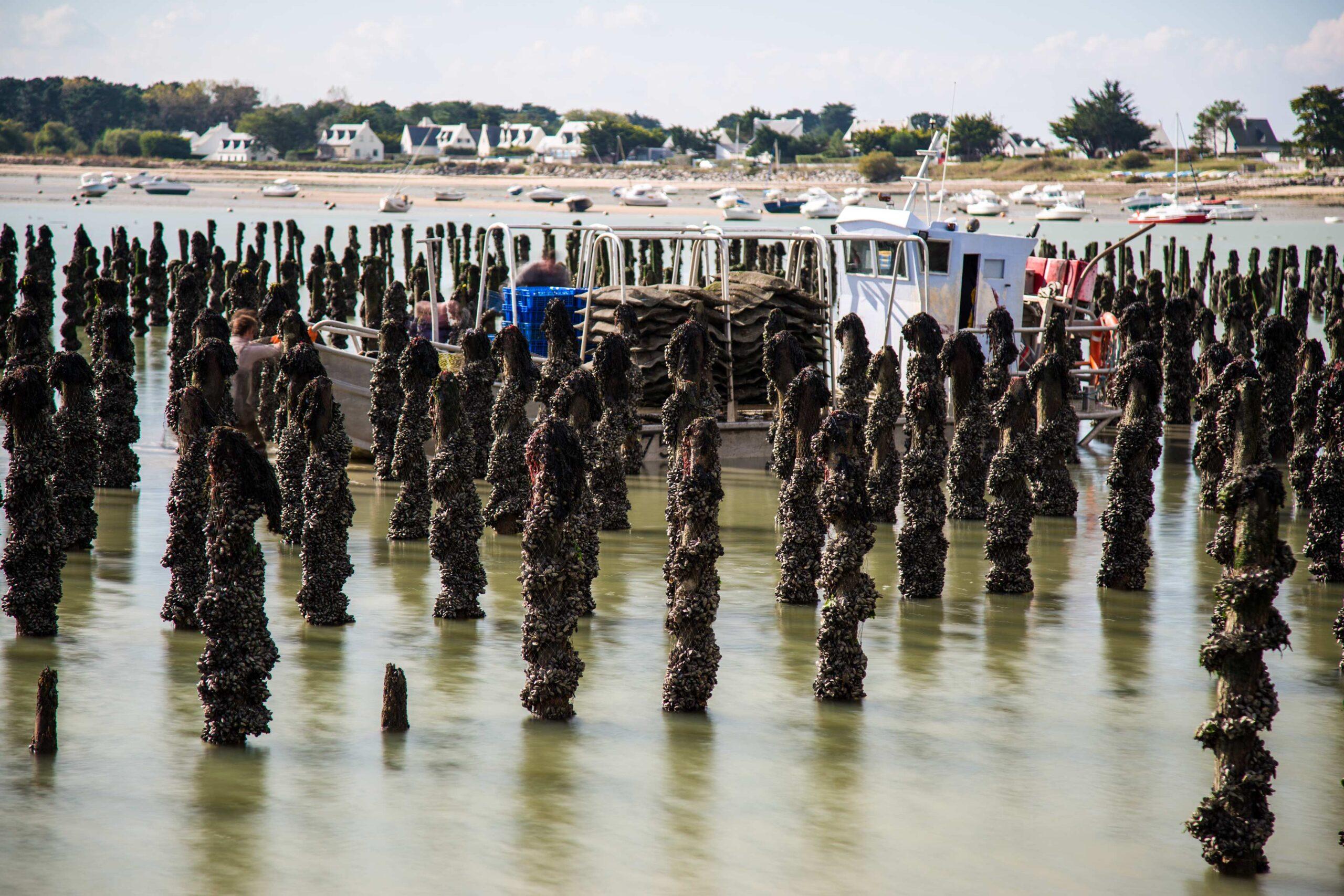 moules de mesquer scaled – Les huîtres de Mesquer Penbé