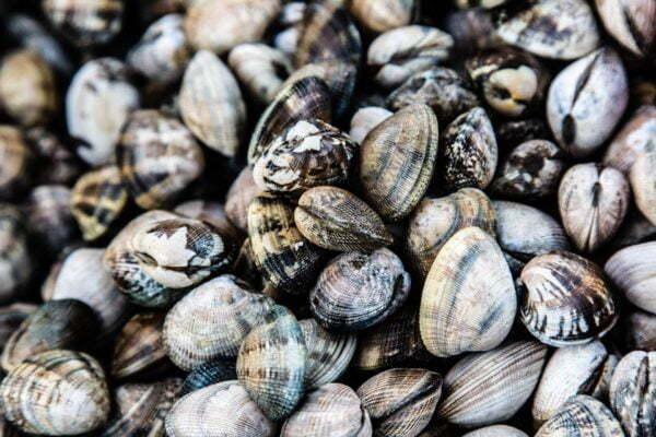 palourdes de mesquer producteur romain fohanno – Les huîtres de Mesquer Penbé