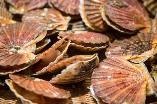 saint jacques scaled – Les huîtres de Mesquer Penbé